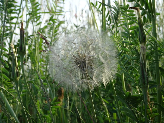 Beauty In Nature Close-up Dandelion Dandelion Seed Day Field Flower Flower Head Flowering Plant Focus On Foreground Fragility Freshness Green Color Growth Inflorescence Land Nature No People Outdoors Plant Positive Emotion Softness Spring Vulnerability
