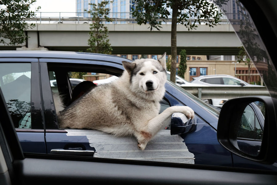 Dog looking trought the window while driving in a car Animal Themes Car Dog Dog Driving A Car Dog In A Car Dog In A Car Looking At You Dog Looking At Camera Dog Looking On Your Eyes Dog Looking Through A Window Dog Love Domestic Animals Driving Car Istanbul Street Life Istanbul Street Photography Mode Of Transport One Animal Pets Traffic Traffic Surprise Transportation
