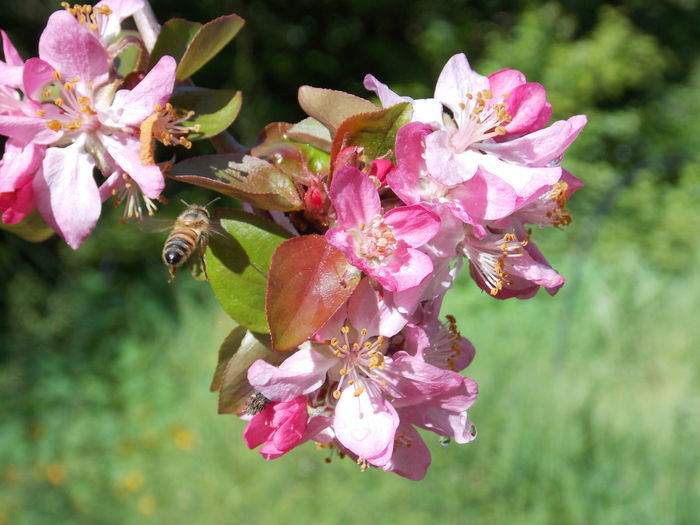 Bee Blossom Flight Flower Garden Photography Insect Photography Macro_collection Nature_collection Wildlife