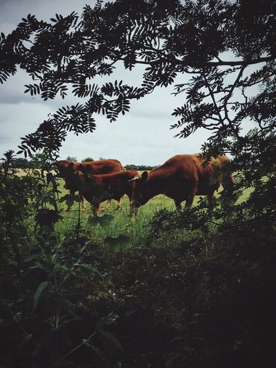 Cows Animals Nature Cow First Eyeem Photo