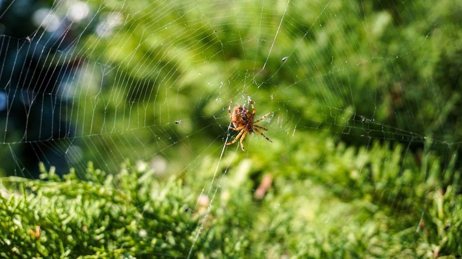Spider Spider Web Animal Wildlife Animals In The Wild Animal Invertebrate Close-up Spider One Animal Animal Themes Insect Arachnid Fragility No People Survival Arthropod Focus On Foreground Nature Beauty In Nature Outdoors Plant