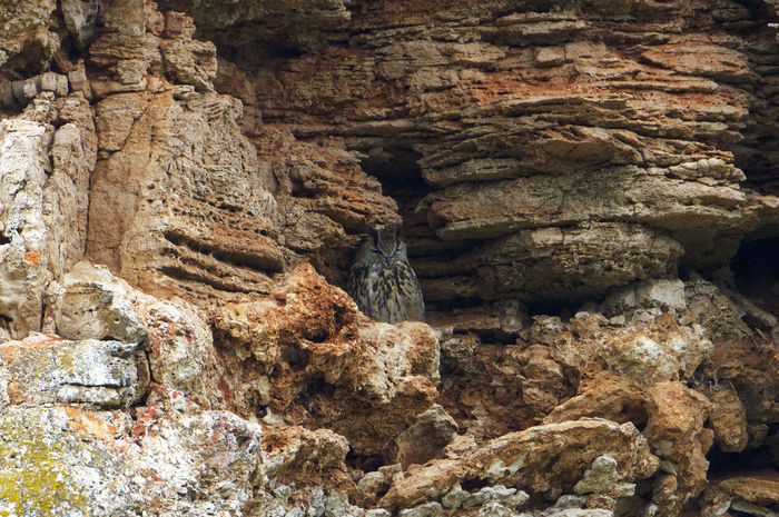 Bird Photography Eagle Owl  Beauty In Nature Bird Bubo Bubo Cliff Nature Rock - Object
