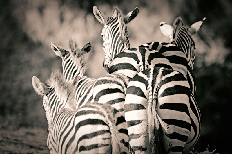 Animal Wildlife Animal Animal Themes Animals In The Wild Striped Zebra Mammal Group Of Animals Focus On Foreground Animal Markings Vertebrate No People Nature Safari Natural Pattern Two Animals Day Outdoors Herbivorous Zoo Animal Head