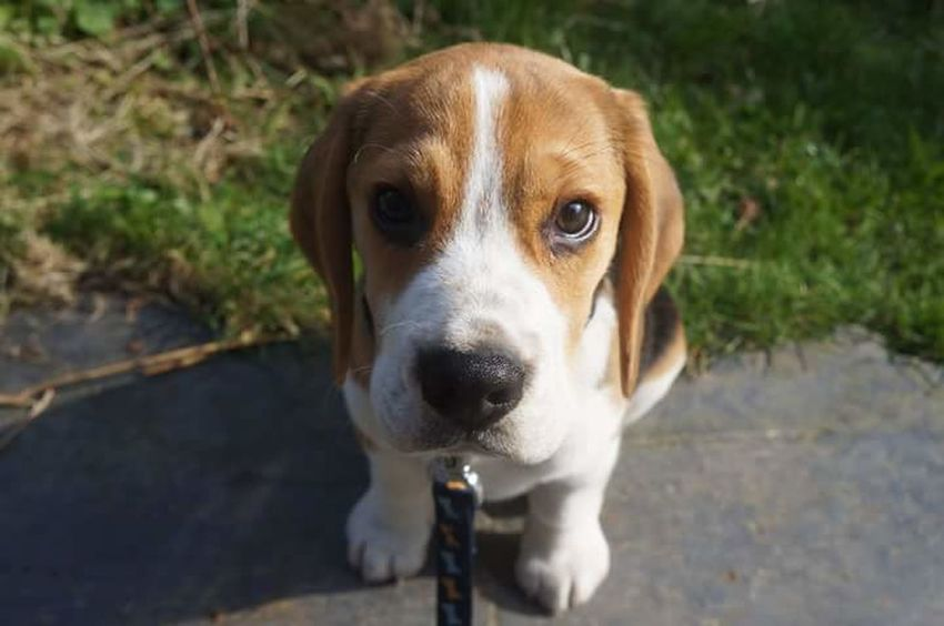 Dog Pets One Animal Domestic Animals Beagle Looking At Camera Portrait Animal Themes Day Outdoors No People Mammal Grass Close-up Beaglepuppy Beaglelovers Beagleoftheday Beaglelife Puppy