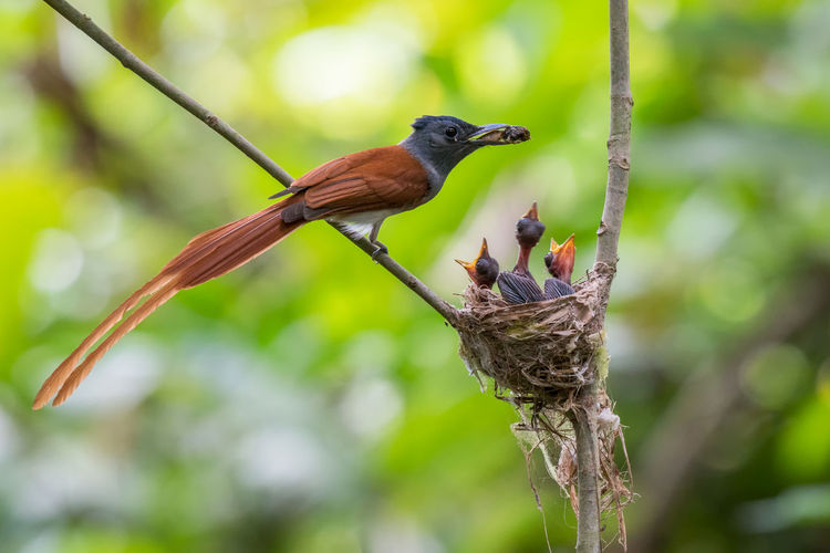 Asian Paradise Flycatcher bird feeding the babies with insect in jungle. Feeding  Animal Animal Themes Animal Wildlife Animals In The Wild Asian Paradise Flycatcher Beauty In Nature Bird Branch Close-up Day Focus On Foreground Group Of Animals Insect Mouth Open Nature No People Outdoors Perching Plant Tree Two Animals Vertebrate