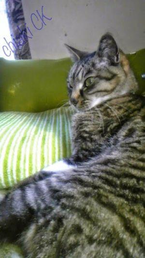 Cute Pets My Pets Cute Cat.  Cat Cute Pets Cat Cute Cat (null)