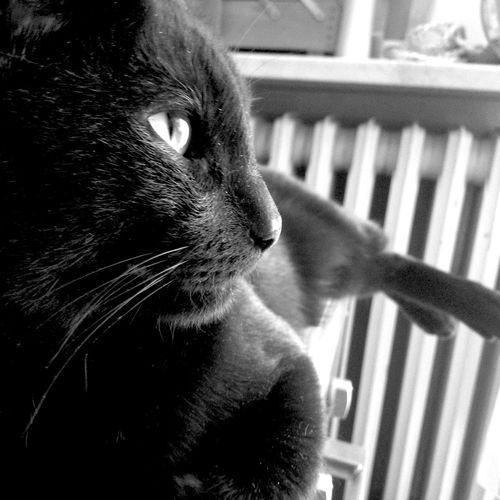 Celestino Cat Black Blackandwhite Longcat Luckycat Eye Relax Monochrome