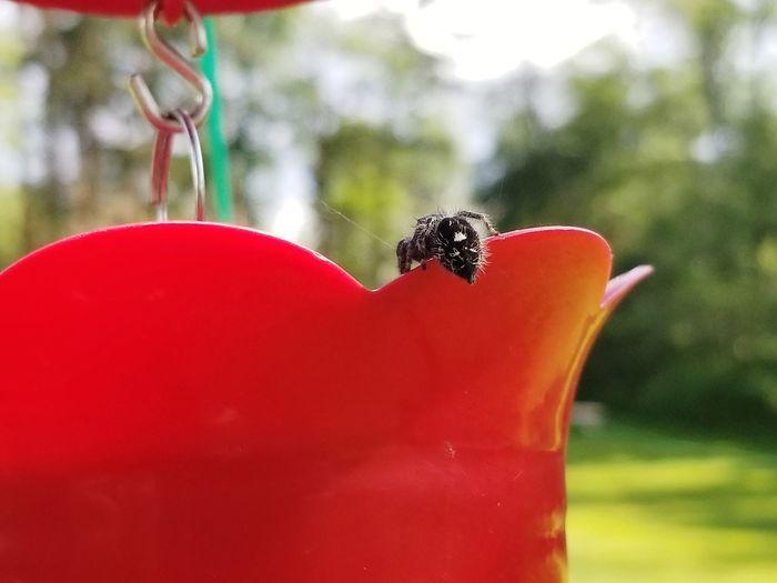 Spider butt,