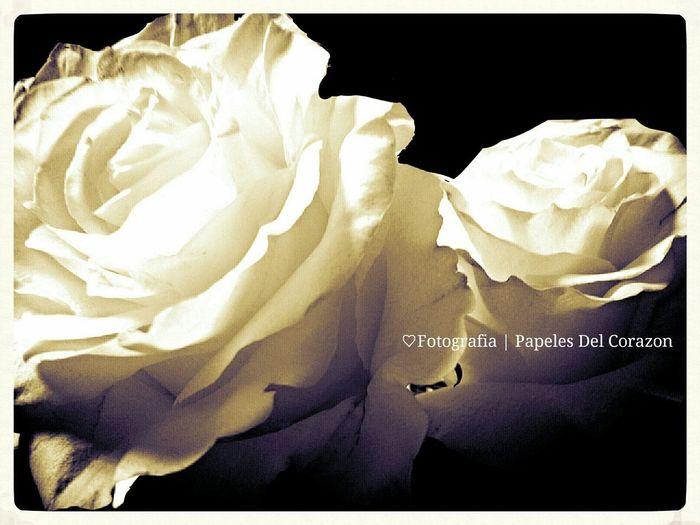 RosePorn )( Flowerporn Roses White Roses