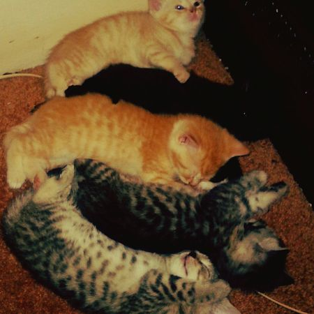 Too cute, wonder what I should name them... Quality Time Pets Kittens<3 Sleepy Kitty My Cute Kittens  Popular Photo My Cats Egyptian Mau