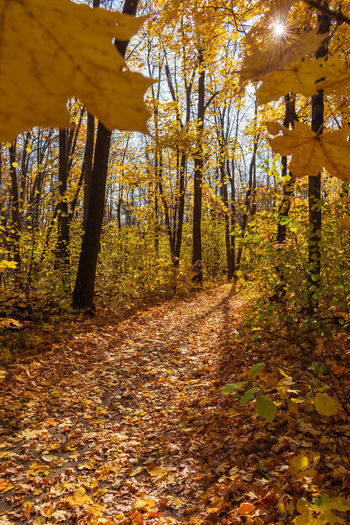 Trees and yellow autumn leaves in forest