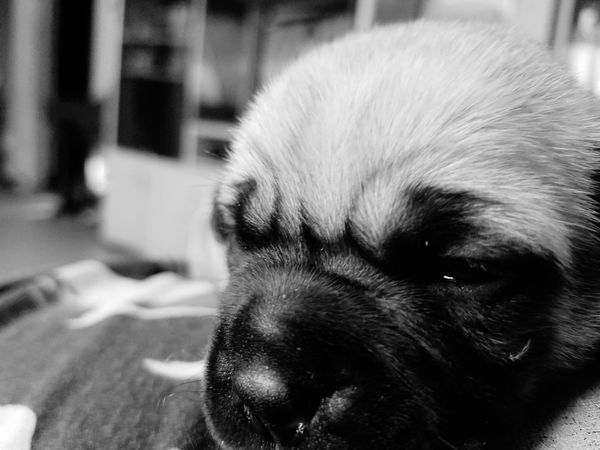seeing a new life appear is the most beautiful thing you can ever imagine Puppy❤ Newborn Puppy  Baby Pug Sleeping🐶🐾🐾 Pug Sleeping Puppy Blackandwhite Enjoying Life New Life Begins Beautiful Adorable Puppy