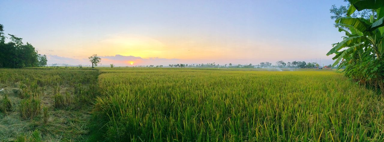 panoramic view of sunset at the paddy field in Mãos district of Cilacap Regency in Central Java Coordinating Minister of Economy Darmin Nasution, said yesterday that national rice price decreased 1.1% from price per January this year. Agriculture Farm Farmland