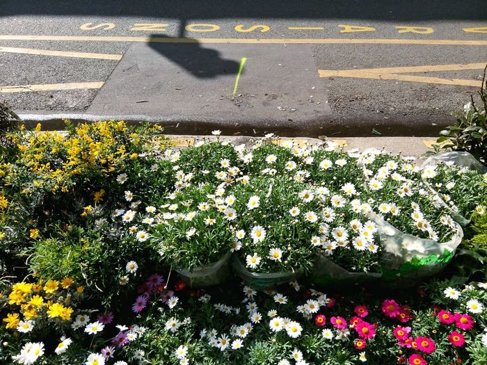 Rows Of Flowers Nature On Your Doorstep Urban Spring Fever Urban Nature Paquerettes Daisies Green Green Green!  Macadam Place Livraison Showcase April Up Close Street Photography Colour Of Life The City Light Minimalist Architecture