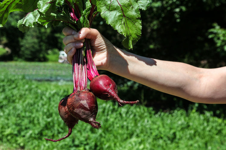 Cropped hand of person holding common beets on field