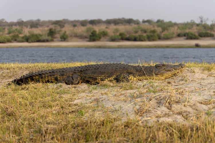 Surface level of a crocodile in a river