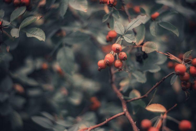 Rosa fruits