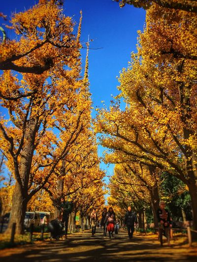 Ginkgo IPhoneography Shot On IPhone 6