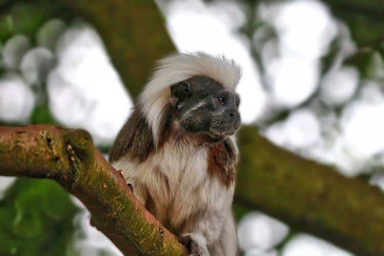 Cotton Top Tamarin Animal Head  Animal Themes Beauty In Nature Close-up Day Focus On Foreground Mammal Nature No People Outdoors Portrait Selective Focus Tree Wildlife