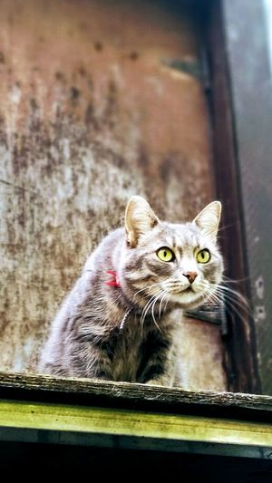 Pets Portrait Domestic Cat Feline Whisker Close-up Tabby Cat Animal Eye Alertness Ear Cat Nose Yellow Eyes Animal Head  Animal Ear