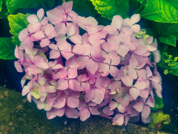 Printemps Nature Outdoors Beauty In Nature Hydrangea Leaf Freshness Close-up Flower Head Flower Eyeem Photography Color Explosion Colourful Daylight Photography Raindrops Droplets Pink Flower 🌸 EyeEm Flower Vivid Nature Perspectives On Nature