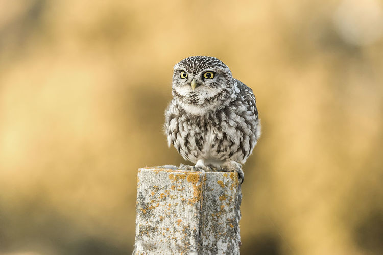 Athene Noctua Animal Themes Animal Wildlife Animals In The Wild Athene Bird Bird Of Prey Close-up Day Focus On Foreground Nature No People One Animal Outdoors Owl Perching