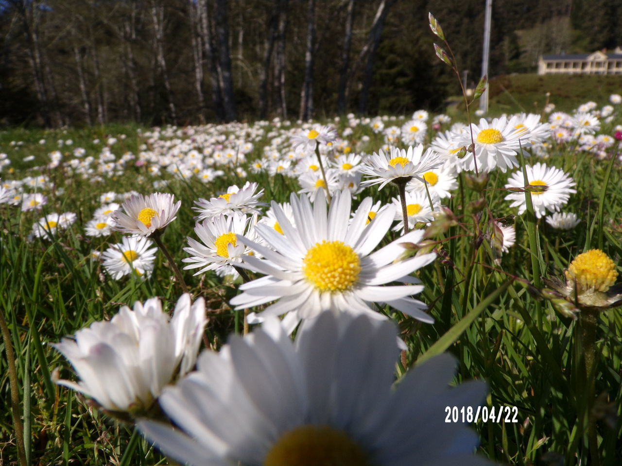 flowering plant, flower, plant, freshness, fragility, vulnerability, beauty in nature, growth, white color, petal, inflorescence, flower head, nature, close-up, land, day, daisy, pollen, field, selective focus, outdoors, no people, flowerbed