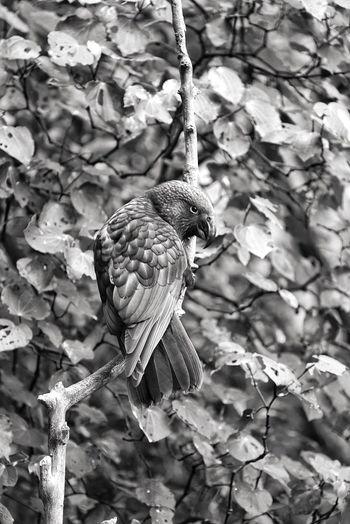 Kākā Bird One