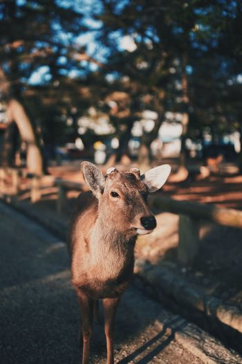 Portrait of deer standing against trees