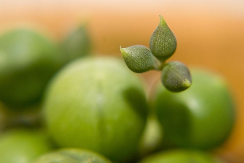 Close up of the new buds of a succulent plant. Macro Photography Backgrounds Beauty In Nature Close-up Day Food Food And Drink Freshness Fruit Green Color Group Of Objects Growth Healthy Eating Leaf Nature No People Outdoors Plant Plant Part Ripe Selective Focus Soft Focus Wellbeing