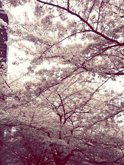 一駅歩いて移動。どこまでも続く桜並木