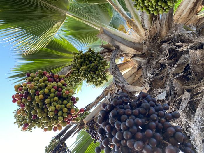 Fruits hanging on tree