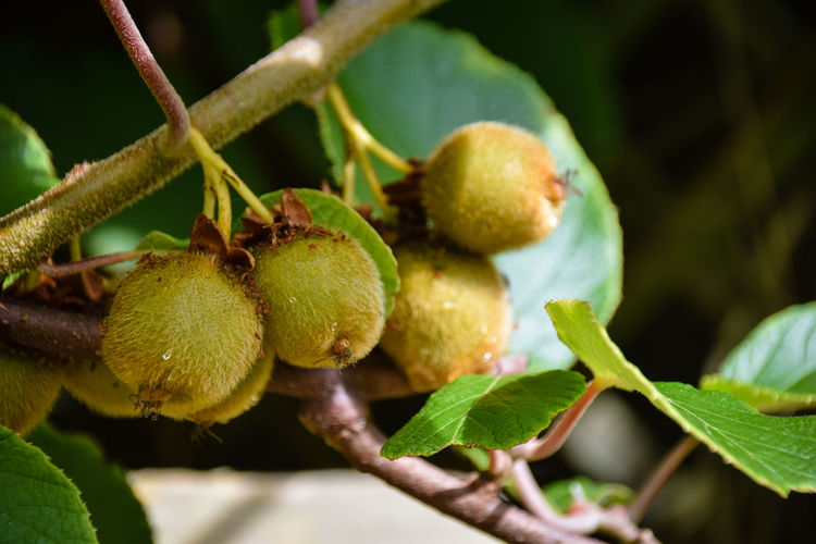 Kiwi fruit growing Kiwi Fruit Kiwis Beauty In Nature Branch Close-up Day Food Food And Drink Freshness Fruit Green Color Growth Healthy Eating Kiwi Kiwi - Fruit Kiwifruit Kiwipics Leaf Nature No People Outdoors Plant Tree