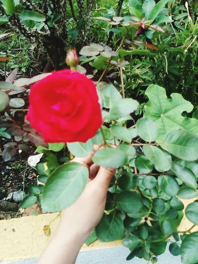 """""""Lovely rose from the backyard"""" God's Creation Popular Photos Beautiful Flower Collection Flower"""