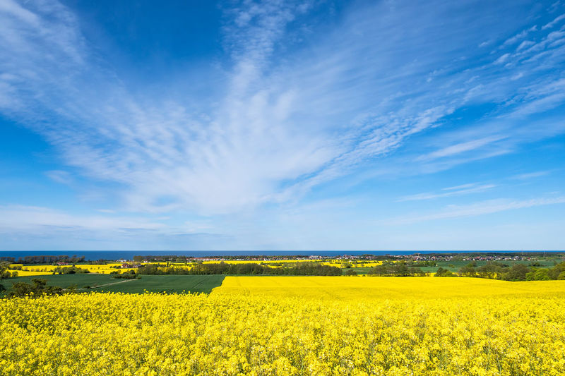 Yellow Beauty In Nature Landscape Flower Sky Field Scenics - Nature Land Oilseed Rape Environment Agriculture Flowering Plant Growth Tranquil Scene Rural Scene Plant Nature Cloud - Sky Day Springtime Outdoors Kühlungsborn Kuehlungborn Baltic Sea Coast Shore