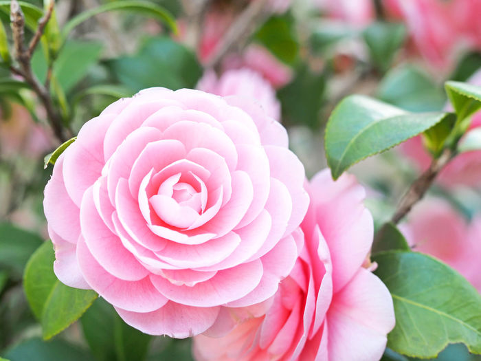 Camellia flower blooming beautifully (綺麗に咲いている椿の花) Ad Camellia Copy Space Green Nature Plant Beauty In Nature Black Color Camellia Flower Close-up Cute Flower Flower Head Flowering Plant Freshness Margin Nature No People No Person Nobody Pink Color Plant Text Space White 椿