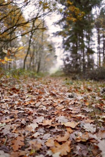 Autumn Tree Change Leaf Plant Part Plant Land Nature Leaves Tranquility Forest Day Falling Beauty In Nature No People Dry Growth The Way Forward Outdoors Tranquil Scene Surface Level WoodLand Fall Autumn Collection Natural Condition