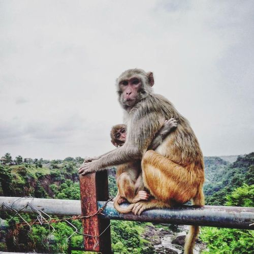 Monkey Animal Themes Wildlife Animals In The Wild Mammal Sky Railing Primate Cloud Focus On Foreground Zoology Looking At Camera Mountain Looking Animal