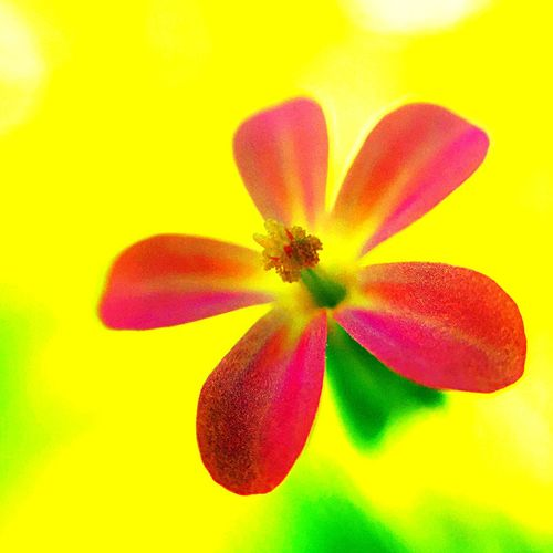 Flower Petal Flower Head Yellow Freshness Fragility Beauty In Nature Studio Shot No People Nature Close-up Multi Colored Growth Day Outdoors