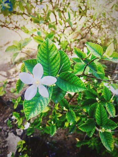Flower Simplicity Simple Photography Simple Province Flower Photography Flower Collection Flower In The Garden Growth Leaf Plant Beauty In Nature Green Color Fragility Nature Day No People Freshness Petal Blooming Outdoors Close-up Periwinkle Flower Head Flowers, Nature And Beauty