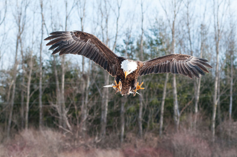 Animal Themes Animal Wildlife Animals In The Wild Bald Eagle Bird Bird Of Prey Close-up Day Eagle - Bird Flying Nature No People One Animal Outdoors Spread Wings