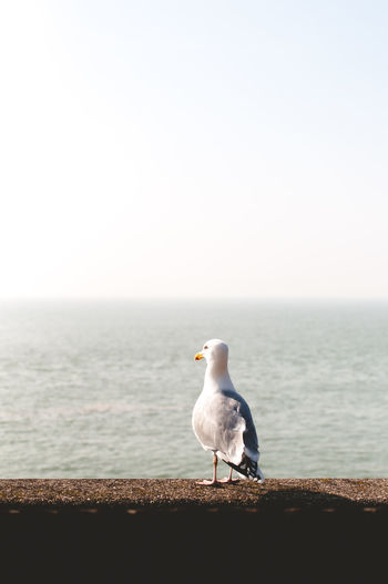 Seagull perching on retaining wall by sea against clear sky