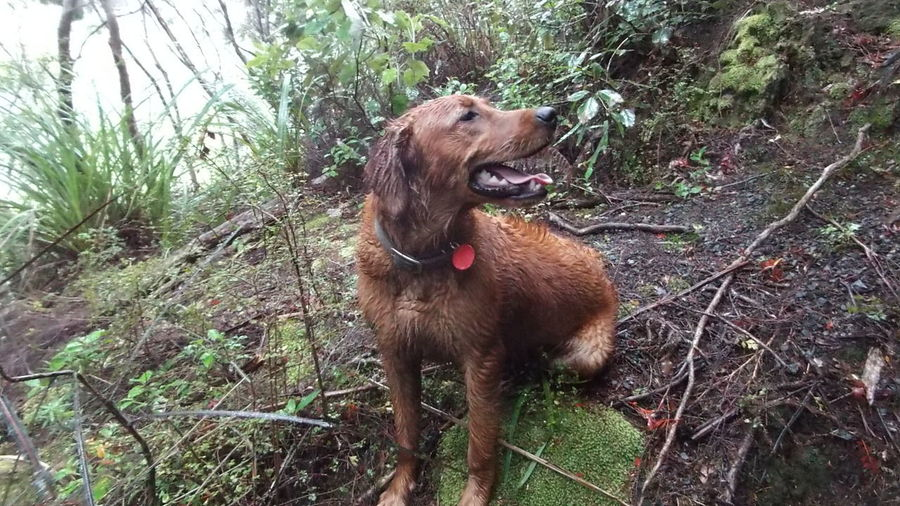 Hunting Above Cloudbase Lukhan Gold Retriver Animal Themes Day Dog Domestic Animals Field Forest Grass Growth Mammal Nature No People One Animal Outdoors Pets Plant Tree Wet Day