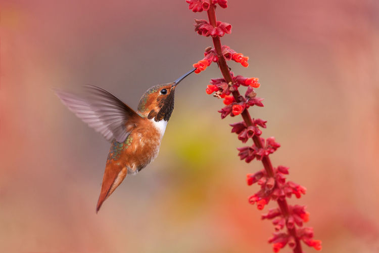 Close-up of colibri flying against red flowers