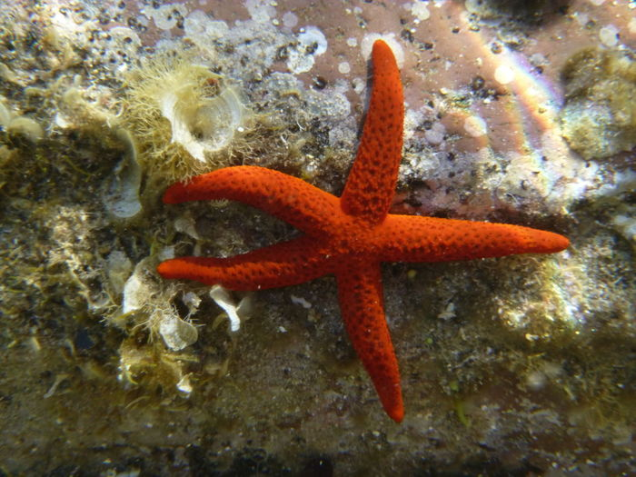 UnderSea Sea Life Underwater Water Sea Red High Angle View Starfish  Animal Themes Close-up