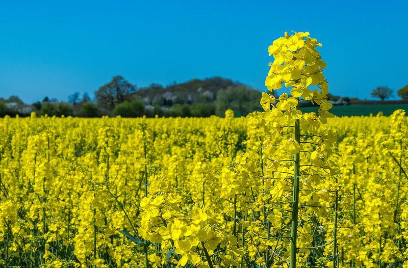 Standing Tall ..... Agriculture Beautiful Crop  Field Field Flowers Lansape Rapeseed Rural Scene Spring Yellow Yeah Springtime!