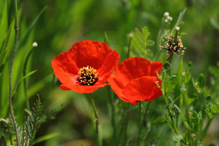 Summer is coming... 🌻🌞🌻 WeekOnEyeEm EyeEmSelect Flower Head Flower Botanical Garden Poppy Nature Reserve Red Multi Colored Petal Summer Rural Scene Flowering Plant Wildflower
