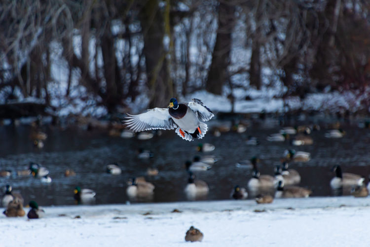 Mallard flying over snow covered land