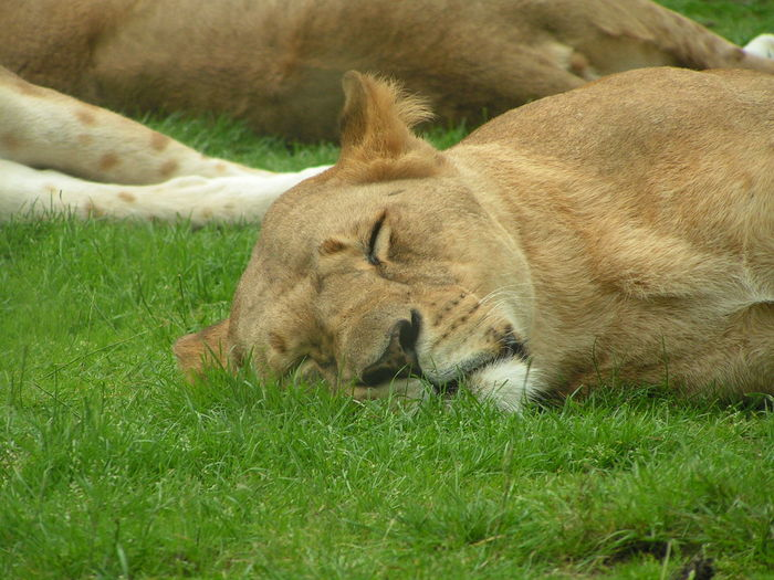Cat sleeping on grassy field