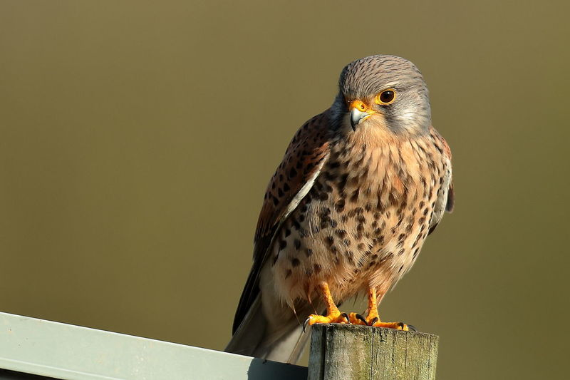 Kestrel Perched Nature Nature On Your Doorstep Wildlife & Nature Wildlife Photography Animal Wildlife Animals In The Wild Bird Bird Of Prey Birdofprey Close-up Copy Space Day Eagle Focus On Foreground Kestrel Falcon Kez Looking Looking Away Nature No People One Animal Outdoors Perching Vertebrate Wood - Material